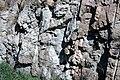 Dunham Dolomite (Lower Cambrian; Route 2 roadcut, southeast of the Lamoille River bridge, Vermont, USA) 15.jpg