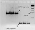 ELFO-GAPDH-RNAiMAX.png