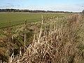 East Parley, bulrushes - geograph.org.uk - 1151787.jpg