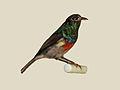 Eastern Double-collared Sunbird male specimen RWD.jpg