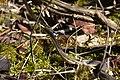 Eastern Garter Snake (Thamnophis sirtalis sirtalis) - London, Ontario 2015-04-12 (02).jpg