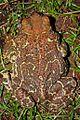 Eastern Giant Toad (Peltophryne peltocephala) (8573972249).jpg