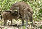 Eastern Grey Kangaroo Feeding.jpg