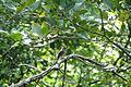 Eastern Wood-Pewee (29096819744).jpg