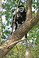 Eastern black-and-white colobus (Colobus guereza occidentalis) with juvenile.jpg