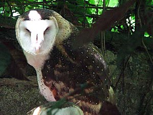 Eastern grass owl at Philippine Eagle Center.jpg