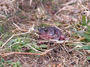 American spadefoot toad - Image: Eastern spadefoot toad frog