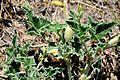 Ecballium elaterium Squirting Cucumber კიტრანა.JPG