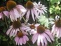 Echinacea purpurea PM13.JPG