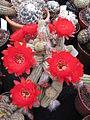 Echinopsis chamaecereus (Peanut Cactus) (3644625123).jpg