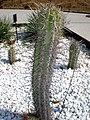 Echinopsis chiloensis 1c.JPG