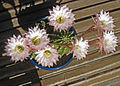 Echinopsis oxygona - 2012 - sept fleurs - 6.jpg