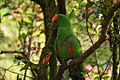 Eclectus roratus -male -perching in tree-8a.jpg