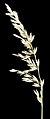 Ehrharta villosa - Flickr - Kevin Thiele.jpg
