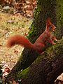 Eichhörnchen mit Eichel 2012.JPG