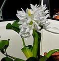 Eichhornia crassipes alba talyanensis..JPG