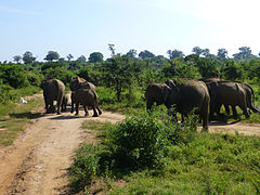 Eléphants-Uda Walawe National Park (3).jpg