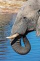 Elefante africano de sabana (Loxodonta africana), Elephant Sands, Botsuana, 2018-07-28, DD 118.jpg