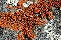 Elegant Sunburst Lichen - Xantoria elegans (22774211165).jpg
