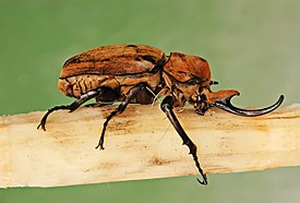 Elephant Beetle Megasoma elephas Male Side 2699px edit.jpg