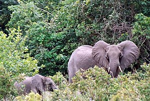 Shimba Hills National Reserve - Forest elephants in the Shimba Hills National Reserve