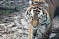 Em - Panthera tigris altaica 8.jpg