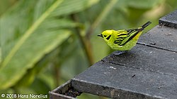 Emerald Tanager, Costa Rica, January 2018 (26082391977).jpg