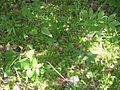 Endangered fringed campion 2 (Silene polypetala).jpg