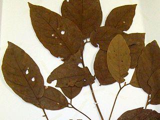 <i>Endiandra hayesii</i> Species of tree
