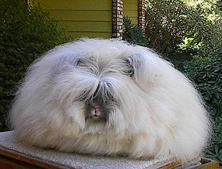 Angora wool fur of the angora rabbit, used as a textile fiber