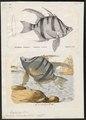 Enoplosus armatus - - Print - Iconographia Zoologica - Special Collections University of Amsterdam - UBA01 IZ12900124.tif