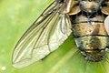Epicampocera.succincta9.-.lindsey.jpg
