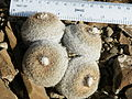 Epithelantha micromeris (5658481688).jpg