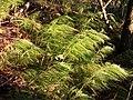 Equisetum sylvaticum sl3.jpg