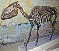 Equus excelsus skeleton.jpg