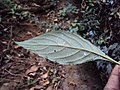 Eranthemum capense at Nedumpoil (6).jpg