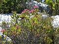 Erica abietina L. subsp. atrorosea Silvermine Dec 13 (2).JPG