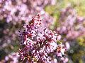 Erica similis (1).jpg