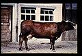 Eringer = 世界の牛 エリンガー(雌) (35896557403).jpg