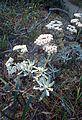 Eriogonum blissianum kz4.jpg