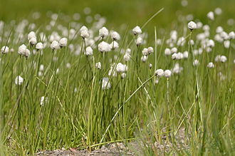 Eriophorum scheuchzeri - Image: Eriophorum scheuchzeri Switzerland