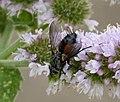 Eriothrix rufomaculata (36566704262).jpg