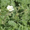 Erodium chrysanthum-IMG 6766.jpg