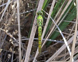 Erythemis collocata-Male-1.jpg