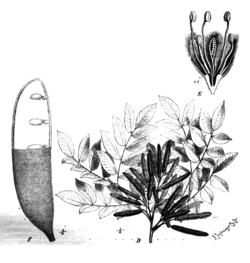 Erythrophleum suaveolens Taub75b.png