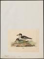 Esacus magnirostris - 1820-1860 - Print - Iconographia Zoologica - Special Collections University of Amsterdam - UBA01 IZ17200107.tif
