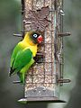 Escaped Yellow Collared Lovebird, Austin Texas, May 2013.jpg