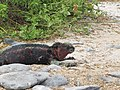 Espanola - Hood - Galapagos Islands - Ecuador (4870936643).jpg