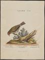 Estrilda melba - 1700-1880 - Print - Iconographia Zoologica - Special Collections University of Amsterdam - UBA01 IZ15900153.tif