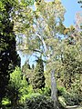 Eucalyptus camaldulensis (villa Hanbury, Italy).jpg